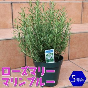 ローズマリー マリンブルー ハーブ苗 5号鉢 1個 ローズマリーの苗 苗木 大苗 送料無料|itanse