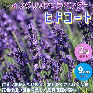 ラベンダー イングリッシュヒドコート (濃い紫色の花) ハーブの苗  9cmポット お買い得2個セット 料理 ガーデニング 家庭菜園 簡単 送料無料 itanse