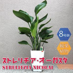 観葉植物 ストレリチア・オーガスタ 8号鉢 Mサイズ 1個 人気 大型 おしゃれ インテリア 育てやすい 風水 送料無料|itanse
