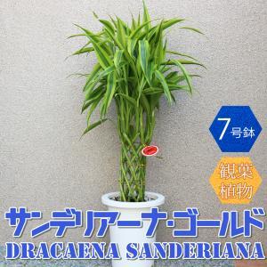 観葉植物 サンデリアーナ・ゴールド 7号鉢 1個 人気 中型 おしゃれ インテリア 育てやすい 風水 送料無料|itanse