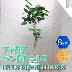 観葉植物 フィカス ベンガレンシス 8号鉢 1個 人気 中型 おしゃれ インテリア 育てやすい 風水 送料無料|itanse