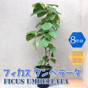 観葉植物 フィカス ウンベラータ 8号鉢 1個 人気 中型 おしゃれ インテリア 育てやすい 風水 送料無料|itanse