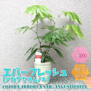 観葉植物 エバーフレッシュ(アカサヤネムノキ) 5号鉢 1個 人気 小型 おしゃれ インテリア 育てやすい 風水 送料無料 itanse