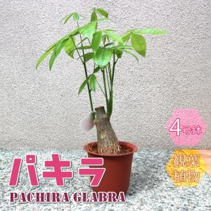 観葉植物 パキラ 4号鉢 1個 人気 小型 おしゃれ インテリア 育てやすい 風水 送料無料 itanse