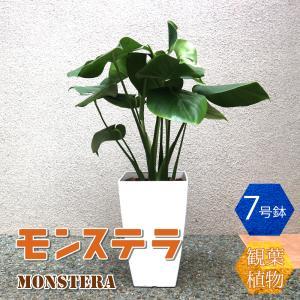 観葉植物 モンステラ 7号 1個 人気 中型 おしゃれ 卓上 インテリア 育てやすい 風水 送料無料|itanse