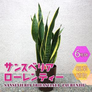 観葉植物 サンスベリアローレンティー6号 1個 人気 小型 おしゃれ 卓上 インテリア 育てやすい 風水 送料無料 itanse