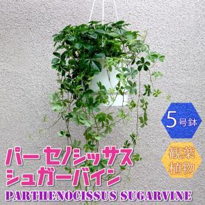 観葉植物 パーセノシッサスシュガーバイン5号1個 人気 小型 おしゃれ 卓上 インテリア 育てやすい 風水 送料無料|itanse