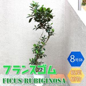 観葉植物 フランスゴム 8号鉢 1個 人気 大型 おしゃれ インテリア 育てやすい 風水 送料無料 itanse