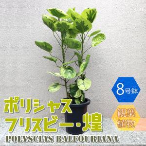 観葉植物 ポリシャス・フリスビー・煌(きらめき) 観葉植物 大型 1個売り 送料無料 itanse