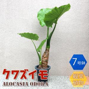 観葉植物 クワズイモ 観葉植物 中型 1個売り 送料無料 itanse