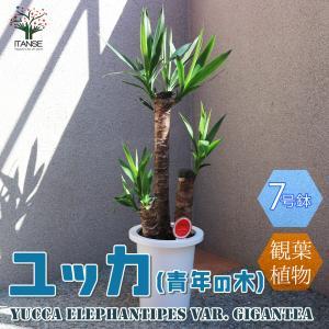 観葉植物 ユッカ(青年の木) 観葉植物  7号プラスチック鉢 1個売り 人気 観葉植物 おしゃれ インテリア 観賞  送料無料|itanse