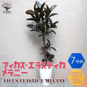 観葉植物 フィカス・エラスティカ・メラニー(ゴムの木の仲間) 観葉植物  中型 7号プラスチック鉢 1個売り  インテリア  送料無料|itanse