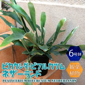 ビカクシダ ビフルカツム・ネザーランド 観葉植物  中型 6号プラスチック鉢 1個 人気 コウモリラン 着生植物 インテリア   送料無料|itanse