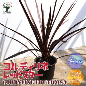 観葉植物 コルディリネ・レッドスター カラーリーフ  4号ポット苗 1個売り 人気  インテリア green 植物のある暮らし 送料無料 itanse