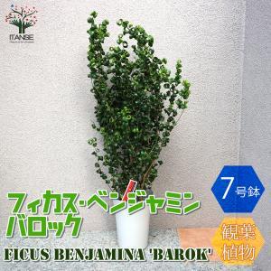 観葉植物 ベンジャミン・バロック 観葉植物  7号Lサイズ 1個売り 人気 観葉植物 おしゃれ インテリア 観賞  送料無料|itanse