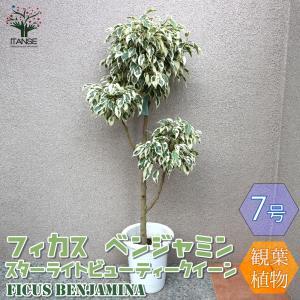 観葉植物 フィカス ベンジャミン スターライトビューティークイーン 大型 観葉植物  7号プラスチック鉢 1個売り  インテリア  送料無料|itanse