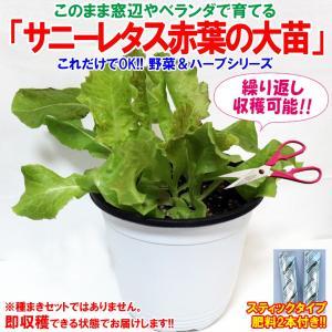 レタス苗 サニーレタス赤葉 ロロロッサの大苗 野菜苗 BN硬質15cmポット 1個  肥料付き 栽培セット 送料無料|itanse