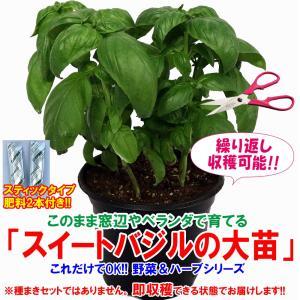 バジル苗 スイートバジルの大苗 ハーブ苗 BN硬質18cmポット 1個 肥料付き 野菜苗 栽培セット 送料無料|itanse