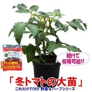 ミニトマト苗 冬トマトの大苗 野菜苗 BN硬質18cmポット 1個 肥料付き 栽培セット 送料無料|itanse