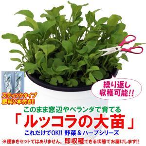 ルッコラの大苗 ハーブ苗 BN硬質15cmポット 1個 肥料付き 野菜苗 栽培セット 送料無料|itanse
