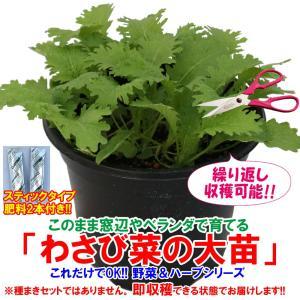 わさび菜の大苗 野菜苗 BN硬質18cmポット 1個 肥料付き 栽培セット 送料無料|itanse