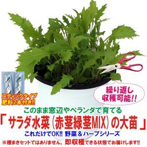 水菜苗 サラダ水菜(赤茎緑茎MIX)の大苗 野菜苗 BN硬質15cmポット 1個 肥料付き 栽培セット 送料無料|itanse