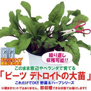 ビーツ苗 ビーツデトロイトの大苗 野菜苗 BN硬質15cmポット 1個 肥料付き 栽培セット 送料無料|itanse