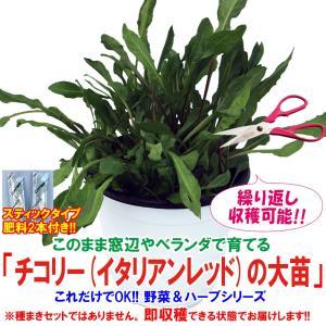 チコリー苗 チコリーイタリアンレッドの大苗 野菜苗 BN硬質15cmポット 1個 肥料付き 栽培セット 送料無料|itanse