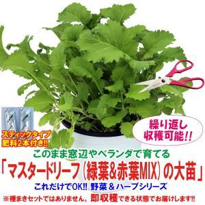 マスタードリーフ(緑葉&赤葉ミックス)の大苗 野菜苗 BN硬質15cmポット 1個 肥料付き 栽培セット 送料無料|itanse