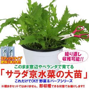 水菜苗 サラダ京水菜の大苗 野菜苗 BN硬質15cmポット 1個 肥料付き 栽培セット 送料無料|itanse