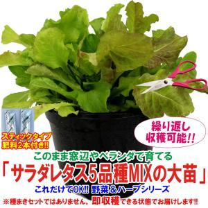 レタス苗 サラダレタス5品種MIXの大苗 野菜苗 BN硬質18cmポット 1個 肥料付き 栽培セット 送料無料|itanse