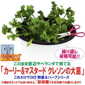 クレソン苗 カーリー&マスタード クレソンの大苗 野菜苗 BN硬質15cmポット 1個 肥料付き 栽培セット 送料無料|itanse