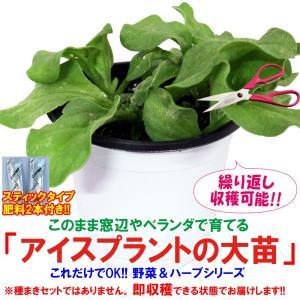 アイスプラントの大苗(品種=プチサラ) 野菜苗 BN硬質15cmポット 1個 肥料付き 栽培セット 送料無料|itanse