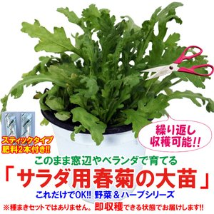 春菊苗 サラダ用春菊の大苗 野菜苗 BN硬質15cmポット 1個 肥料付き 栽培セット 送料無料|itanse