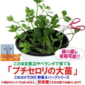 セロリ苗 プチセロリの大苗 野菜苗 BN硬質15cmポット 1個 肥料付き 栽培セット 送料無料|itanse