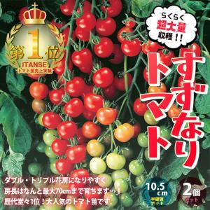 ミニトマト苗 すずなりトマト 野菜苗 自根苗 10.5cm半硬質ポット 2個セット 送料無料 即出荷|itanse