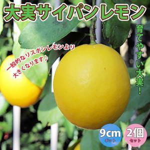 レモン苗 大実サイパンレモン 果樹苗 9cmポット 2個セット 人気の柑橘類の苗 送料無料|itanse