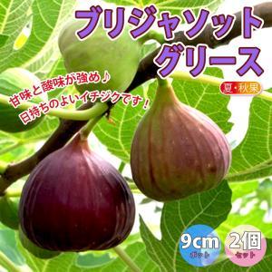 【送料無料】ミニイチジク ブリジャソットグリース【果樹苗9cmポット/2個セット】