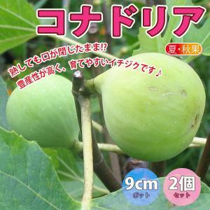 果樹苗 ミニイチジク コナドリア 9cmポット 2個セット