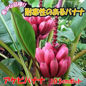 バナナ苗 アケビバナナ(耐寒性バナナ) 果樹苗 10.5cmポット 1個 珍しいピンクの花と実のバナナ 送料無料|itanse