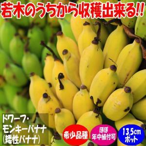 バナナ苗 ドワーフモンキーバナナ(矮性バナナ) 果樹苗 13.5cmポット 1個 送料無料|itanse