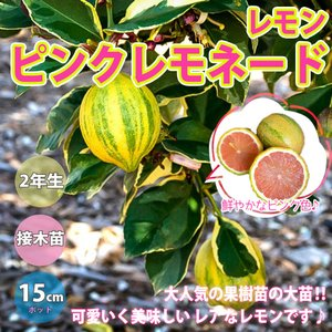 レモン苗 ピンクレモネードの苗木 果樹苗 15cmポット 2年生接木苗 樹高約60cm 1個 送料無料|itanse