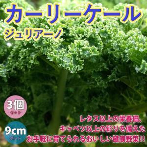 ケール苗 カーリーケールジュリアーノ 野菜苗 9cmポット 3個セット 送料無料の画像