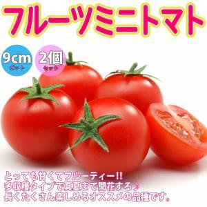 ミニトマト苗 フルーツミニトマト 野菜苗 自根苗 9cmポット 2個セット 送料無料 即出荷|itanse