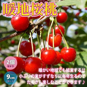 さくらんぼ苗 暖地桜桃(だんちおうとう) 9cm 2個セット 果樹苗 サクランボ苗 チェリー苗 即出荷 送料無料|itanse