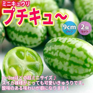 キュウリ苗 ミニミニキュウリ プチキュー 野菜苗 自根苗 9cmポット 2個セット 送料無料|itanse