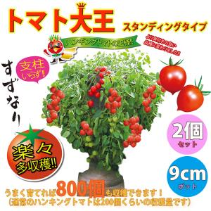 ミニトマト苗 トマト大王(スタンディングタイプ) 野菜苗 自根苗 9cmポット 2個セット 送料無料|itanse