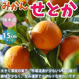 みかん苗 せとか 2年生 接木苗 15cmポット 苗木 1個 柑橘類 送料無料の画像
