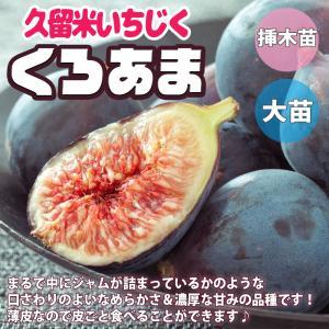 イチジクの苗木 久留米 くろあま 果樹の苗  12cmポット苗 1個売り 果樹 果物 栽培 趣味 園芸 ガーデニング  送料無料|itanse