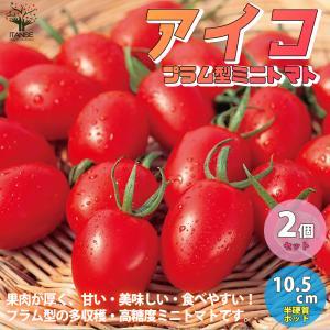 ミニトマトの苗 アイコ 高糖度・育てやすい 野菜の苗 自根苗 10.5cmポット お買い得2個セット  人気 家庭菜園 簡単栽培  送料無料|itanse